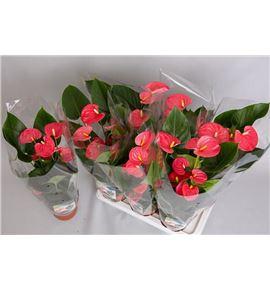 Pl. anthurium arisa pink x6 75cm - ANTARIPIN61775