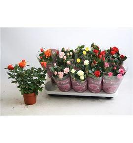 Pl. rosa mixto 30cm x10 - ROSMIX101230