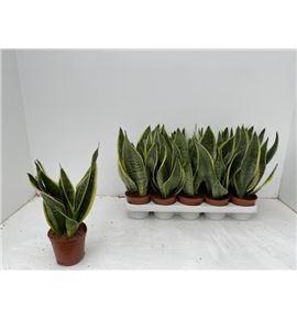 Pl. sanseveria futura 40cm x10 - SANFUT101240