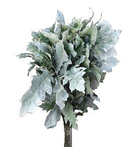 Quercus white - QUEWHI