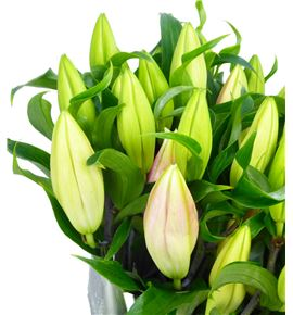 Lilium oriental hol fenice 95 - LOHFEN