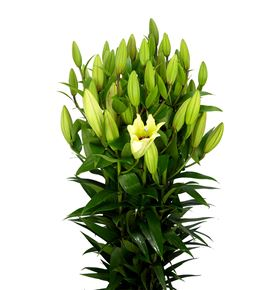 Lilium oriental hol bellville 100 - LOHBEL