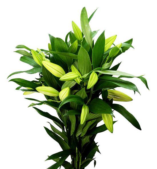 Lilium oriental hol gandhara 95 - LOHGAN