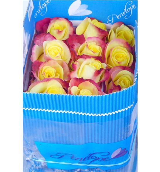 Rosa col hot merengue 40 - RCHOTMER