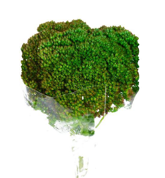 Sedum teñido verde 60 - SEDVEROSC
