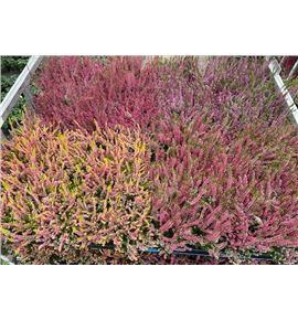Pl. calluna garden 20cm x10 - CALGAR101220