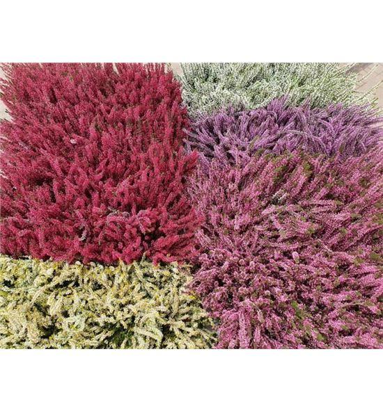 Pl. calluna garden 22cm x8 - CALGAR81222