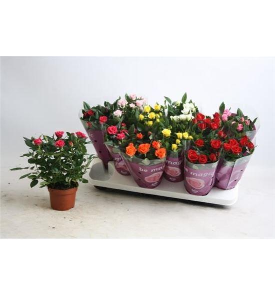 Pl. rosa mixto 27cm x12 - ROSMIX1251027