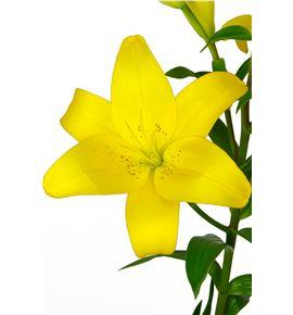 L.a. yellow diamond - LAYELDIA