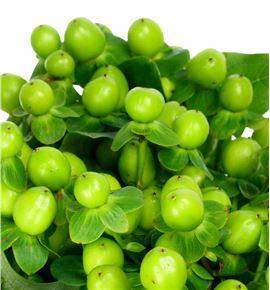 Hypericum coco bamboo 60 - HYPCOCBAM