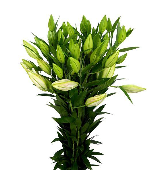 Lilium oriental hol gracia 90 - LOHGRA