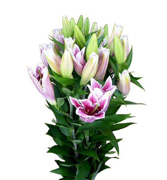 Lilium oriental hol marlon 85 - LOHMAR