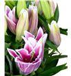Lilium oriental hol marlon 85 - LOHMAR1