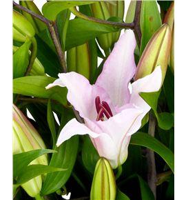 Lilium oriental hol marrero 95 - LOHMARR