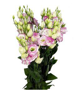 Lisianthus croma bridal kiss 75 - LISCROBRI