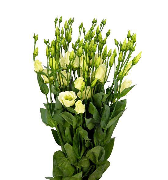 Lisianthus piccolo yellow 75 - LISPICYEL