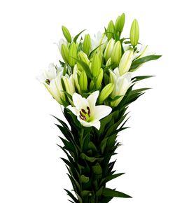 Lilium oriental hol tisento 110 - LOHTIS