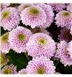 Cr santini doria pink 55 - CRSDORPIN1