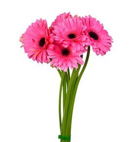 Gerbera rosa 50 x15 - GERPREINT