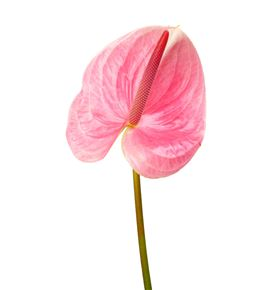 Anth pink christina x10 - ANTPINCRH