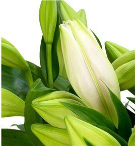 Lilium logi hol cali 100 - LONHCAL
