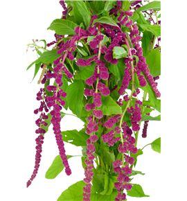 Amaranthus caud rosary 80 - AMACAUROS