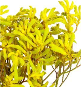 Anigoz bush down 60 - ANIBUSDOW
