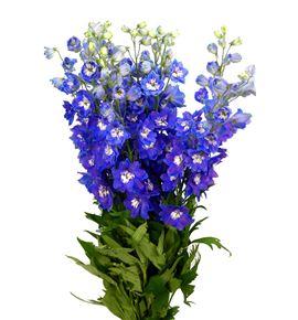 Delphinium dewi blue star 80 - DELDEWBLUSTA