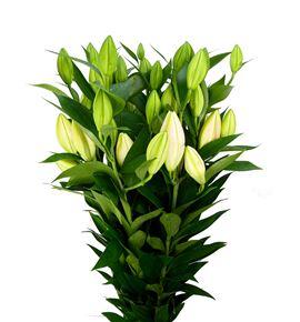 Lilium oriental hol je t´aime 100 - LOHJET