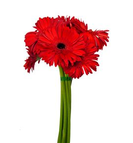 Gerbera roja 50 x15 - GERINF