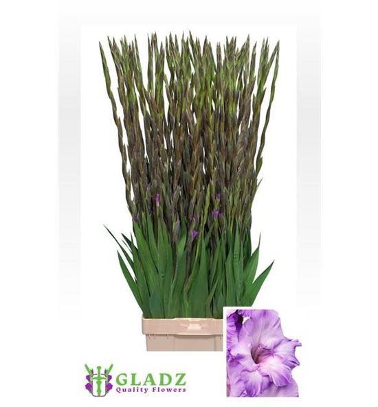 Gladiolo chemisty 115 - GLAMIL