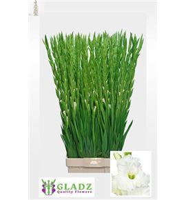 Gladiolo nova zembla 125 - GLAESS