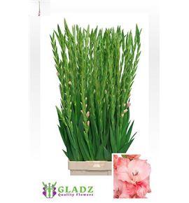 Gladiolo sugar babe 100 - GLAADR