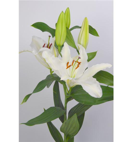 L.o. sambuca 1ª 2 flores - LOSAM
