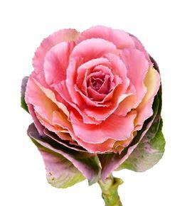 Brassica teñido rosa 60 x5 - BRATINROS