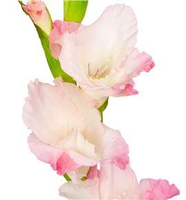 Gladiolo rosa - GLAROS