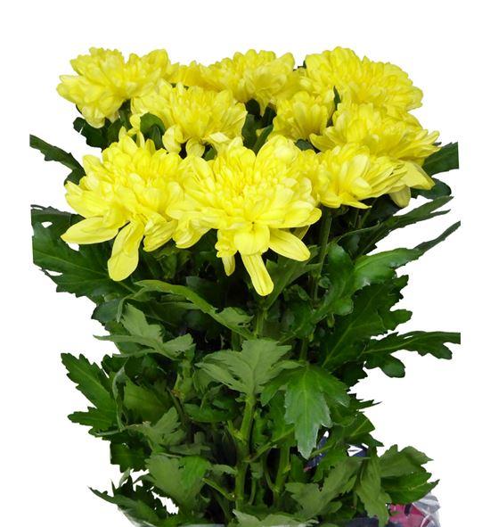 Cr zembla amarillo - CRGZEMYEL