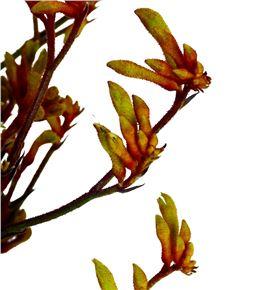 Anigoz bush sunset 60 - ANIBUSSUN