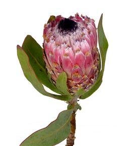 Protea barbigera 50 - PROBAR