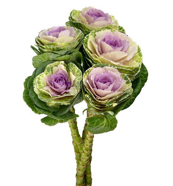 Brassica brane bicolor 70 x5 - BRABRABIC