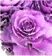 Brassica elegance 60 x5 - BRAELE1