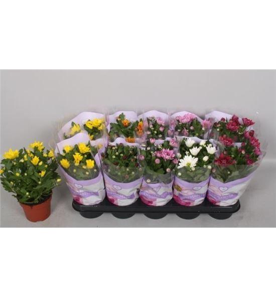 Pl. crisantemo mixto 6kl 26cm x10 - CRIMIX6101226