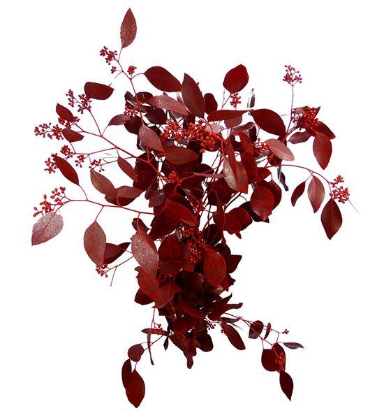 Eucaliptus populus rojo a2 - EUPOPROJ