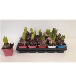 Pl. hyacinthus mixto 4kl 15cm x20 - HYAMIX420715