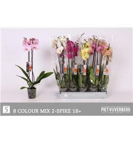 Pl. phalaenopsis mixta 8kl 2t 65cm x10 - PHAMIX81012652