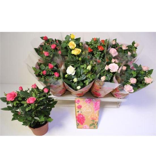 Pl. rosa mixto 32cm x8 - ROSMIX81332
