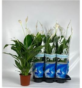 Pl. spathiphyllum cupido compacto 75cm x6 - SPACUPCOM61775