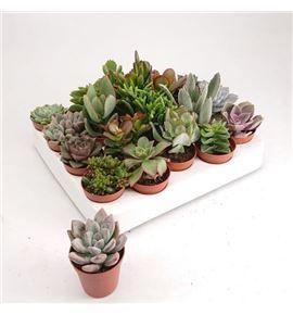 Pl. succulenten diverso 5cm x20 - SUCDIV205055