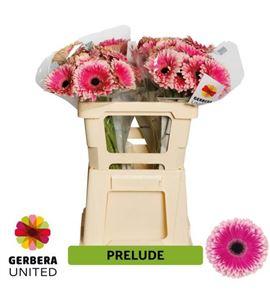 Gerbera prelude 50 x10 - GERPRE50