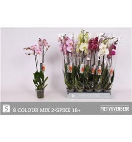 Pl. phalaenopsis mixta 8kl 2t 70cm x10 - PHAMIX81012702